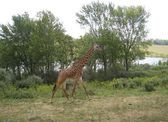 The Wilds, Ohio, safari